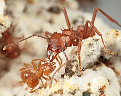 Acromyrmex ant workers