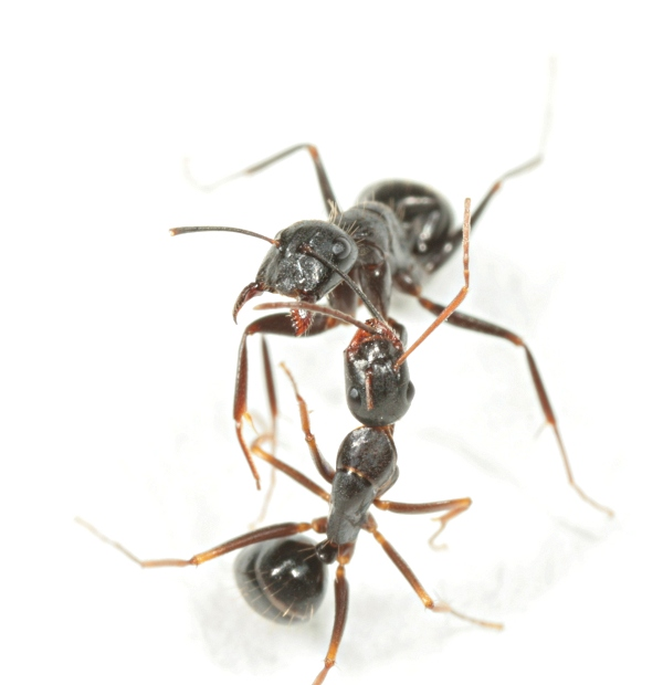 Fighting Camponotus ant workers